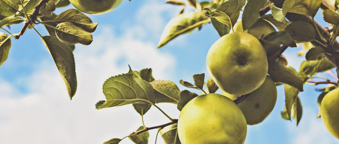 Apples Tree Producing Fruit