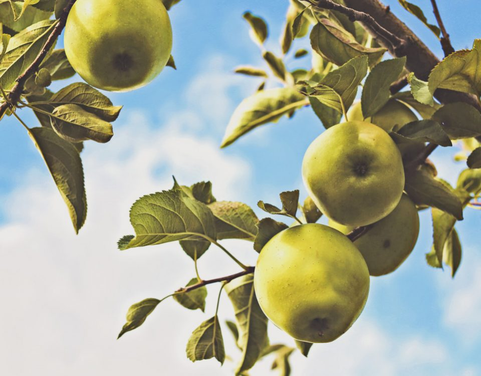Apples Tree Producing Fruit