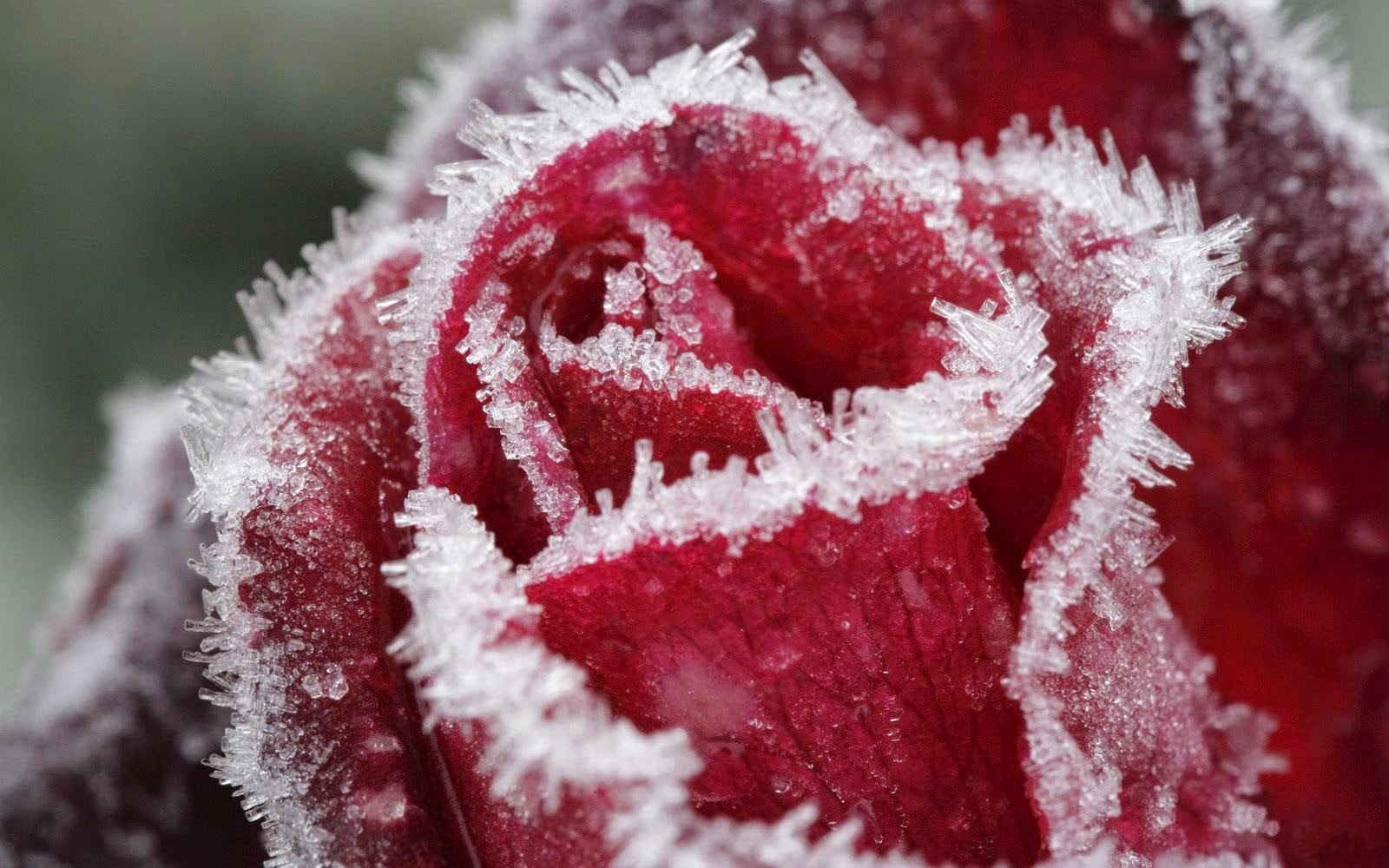 roses-in-the-snow