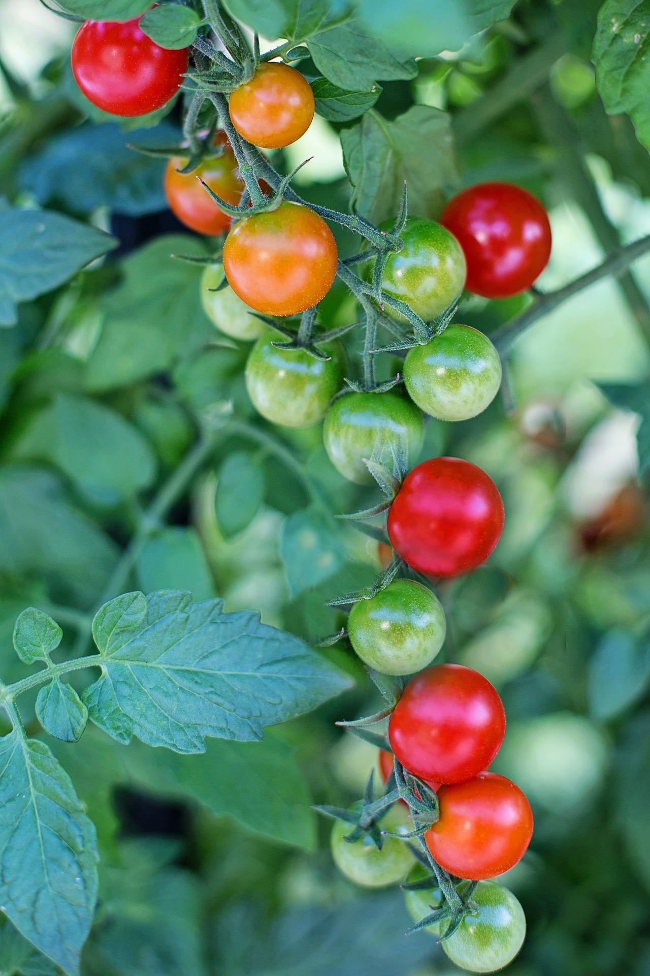 cherry-tomatoes-2566449_1920